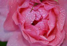 Hydrolat różany